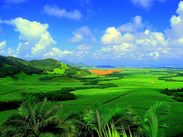 Sugarcane_plantation_in_Mauritius