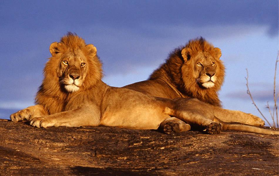 safari-leoni